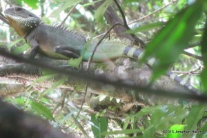 Indo-Chinese Water Dragon Physignathus cocincinus