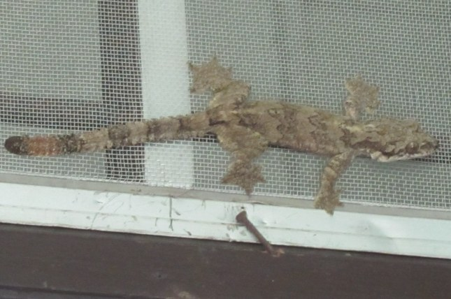 Flying Gecko  Ptychozoon lionotum