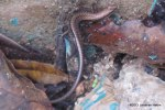 Reeves's Ground Skink Scincella reevesii