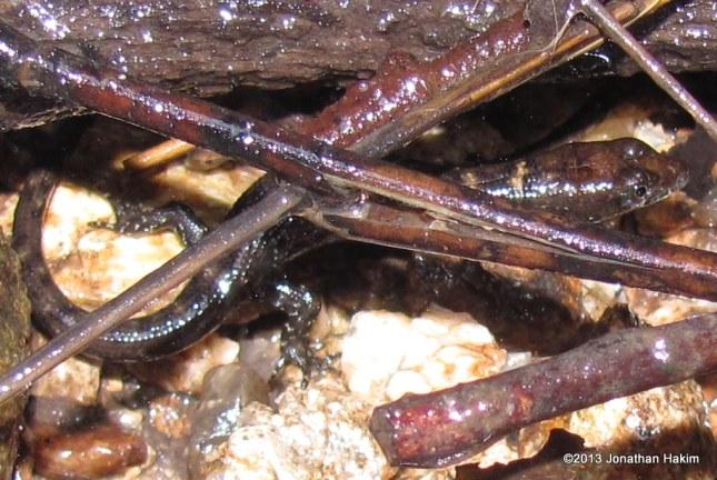 Berdmore's Water Skink Tropidophorus berdmore