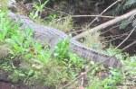 Siamese Crocodile Crocodylus siamensis