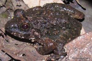 Taylor's Steam Frog Limnonectes taylori