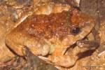 Gyldenstolpe's Frog Limnonectes gyldenstolpei
