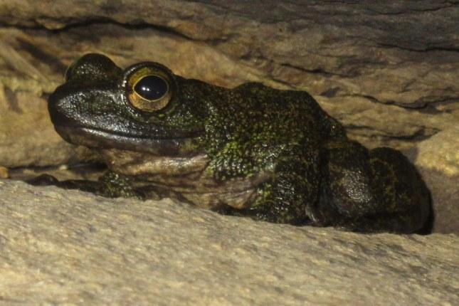 Marbled Cascade Frog Amolops marmoratus