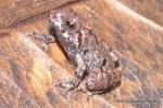 Dwarf Bush Frog Philautus parvulus