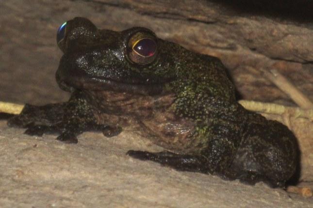 Marbled Sucker Frog Amolops marmoratus