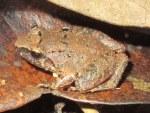 Limborg's Frog Limnonectes limborgi
