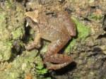 Taylor's Frog Taylorana limborgi