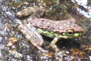 Northern Cascade Frog Amolops marmoratus