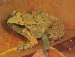 Limborg's Frog Taylorana limborgi
