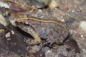 Limborg's Frog Limnonectus limborgi