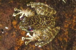 marbled sucker frog Amolops marmoratus