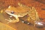 Black-striped Frog Sylvirana nigrovittata