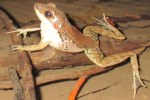 Sapgreen Stream Frog Sylvirana nigrovittata