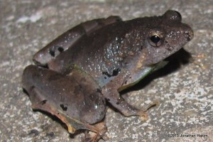 Berdmore's Narrowmouth Frog Microhyla berdmorei