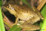 Northern Treefrog Polypedates mutus