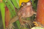 Dark-sided Frog Hylarana nigrovittata