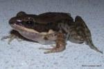 Dark-sided Frog Rana nigrovittata