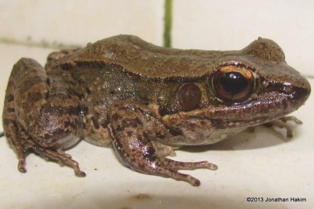Sapgreen Stream Frog Hylarana nigrovittata
