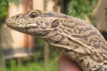 Common Indian Monitor Varanus bengalensis India juvenile head