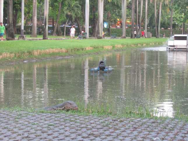 Water Monitor (Varanus salvator) in Lumpani Park, Bangkok