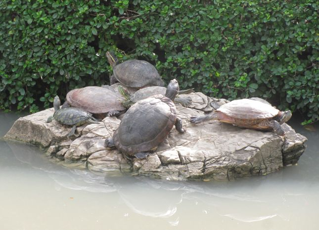 Southeast Asian Box turtle with Red-eared Sliders in Bangkok