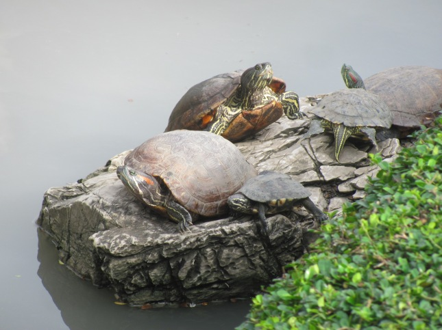 Malayan Snail-eating Turtle with Red-eared Sliders in Bangkok