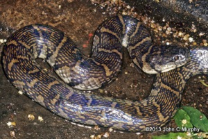 adult Bocourt's Mud Snake Subsessor Enhydris bocourti