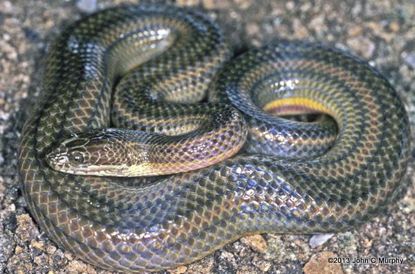 Rainbow Water Snake enhydri enhydris lake Songkhla