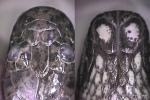 Jagor's Water Snake Enhydris jagorii