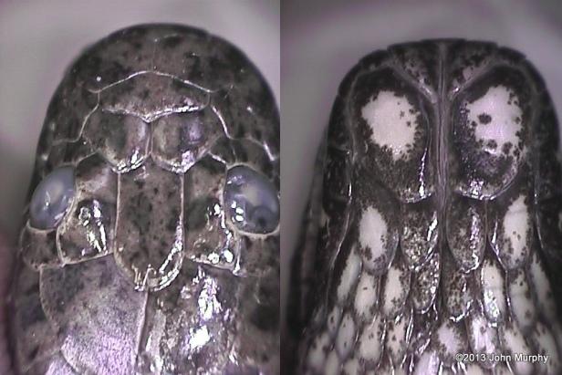 Jagor's Water Snake Enhydris jagorii bangkok mud snake