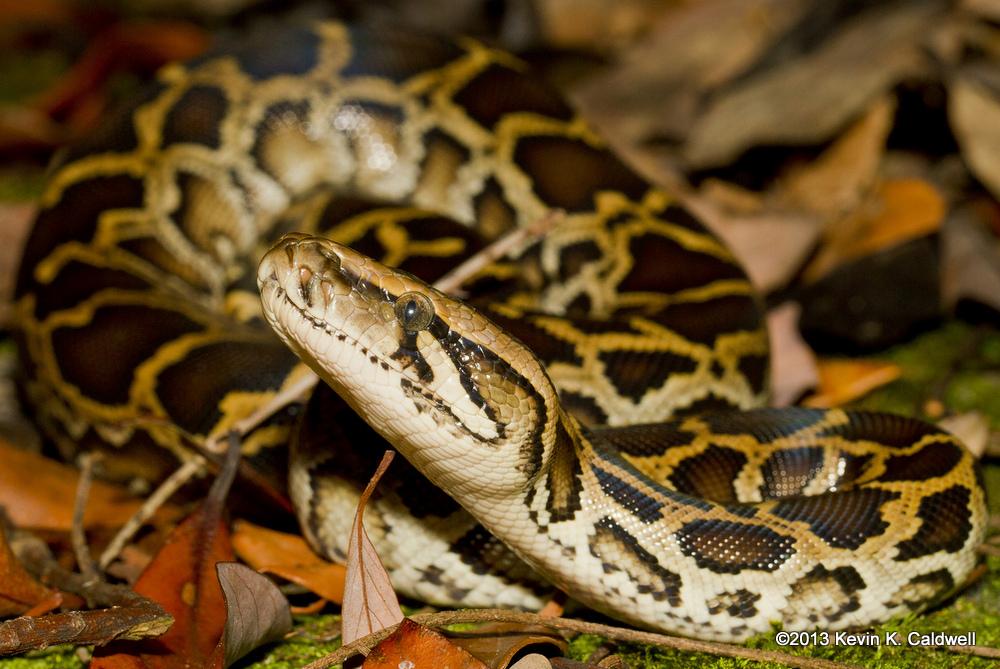 Burmese Python Python bivittatus bivittatus Hong Kong Ngu Larm งูหลาม