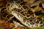 Burmese Python  Python bivittatus bivittatus  Hong Kong