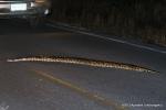Burmese Python Python bivittatus bivittatus Khao Yai Apiradee Loharungsikul