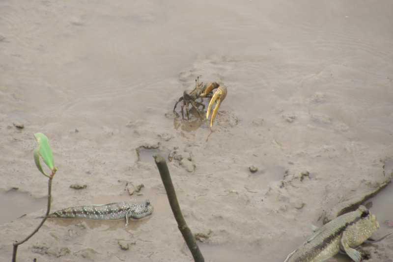 Goggle-eyed Goby (Boleophthalmus boddarti) fiddler crab Giant Mudskipper (Periophthalmodon schlosseri) Chao Praya River bangkok thailand