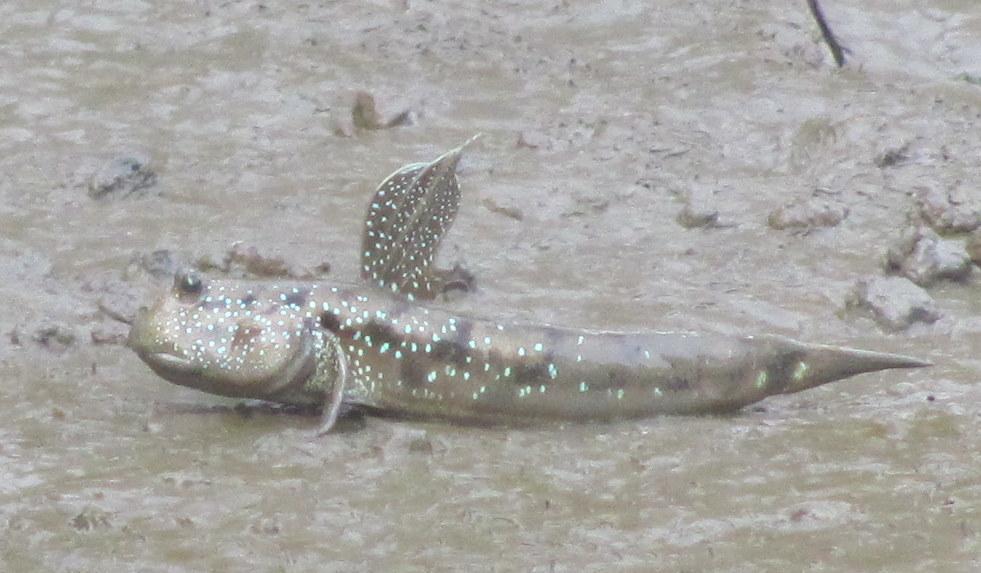 Goggle-eyed Goby (Boleophthalmus boddarti) mudskipper Chao Praya River Bangkok Thailand