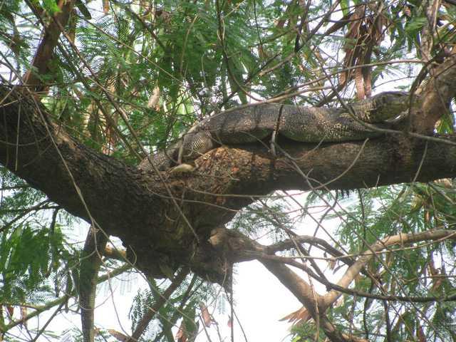 Asian water monitor Varanus salvator bangkok thailand chatuchak park in tree