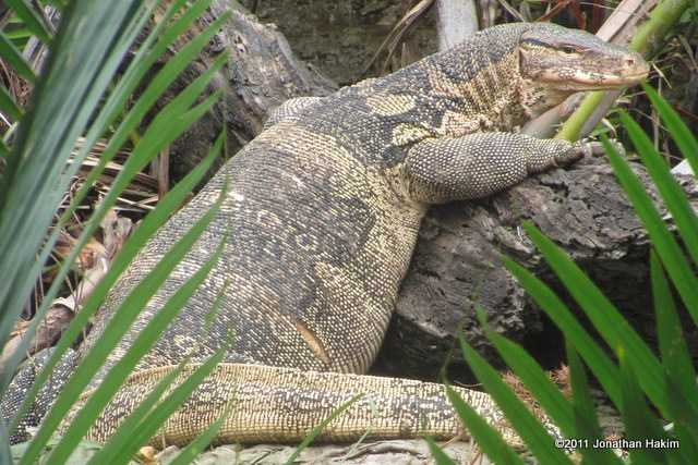Asian water monitor Varanus salvator bangkok thailand enormous obese