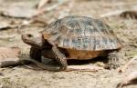 Elongated Tortoise Indotestuda elongata