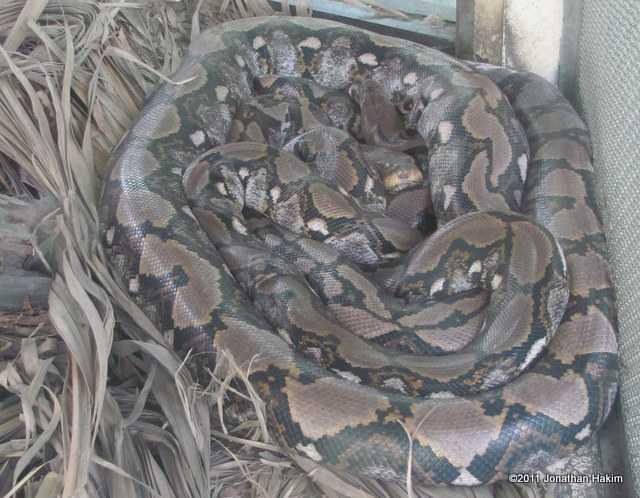 reticulated python Python reticulatus