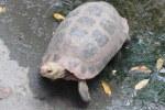 Red-nosed Tortoise  Indotestudo elongata