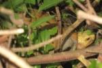 Pineapple Tortoise  Indotestudo elongata