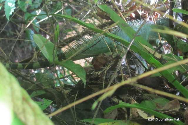 Indo-Chinese Water Dragon (Physignathus cocincinus) khao yai national park thailand