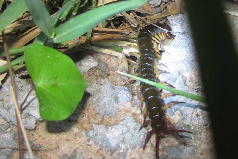 """Vietnamese Centipede"" (Scolopendra subspinipes)"