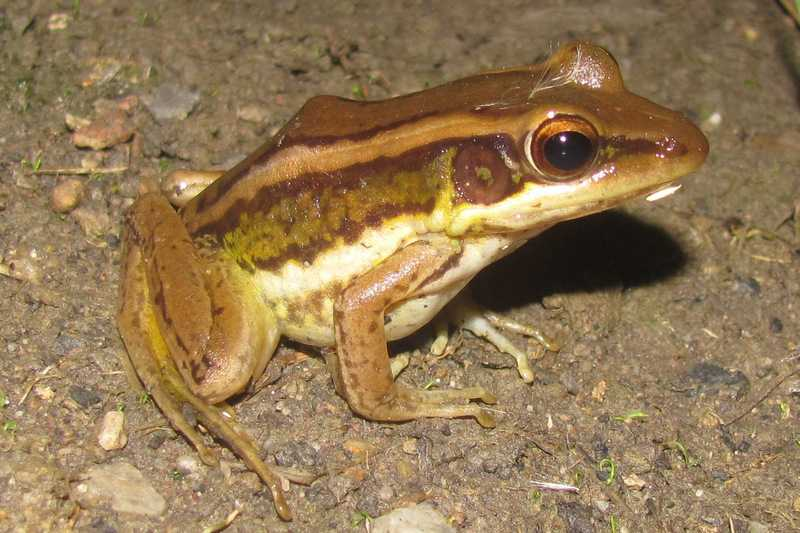 asian grass frog fejervarya limnocharis