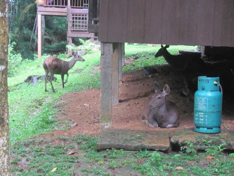 sambar deer Rusa unicolor khao yai dorms thailand