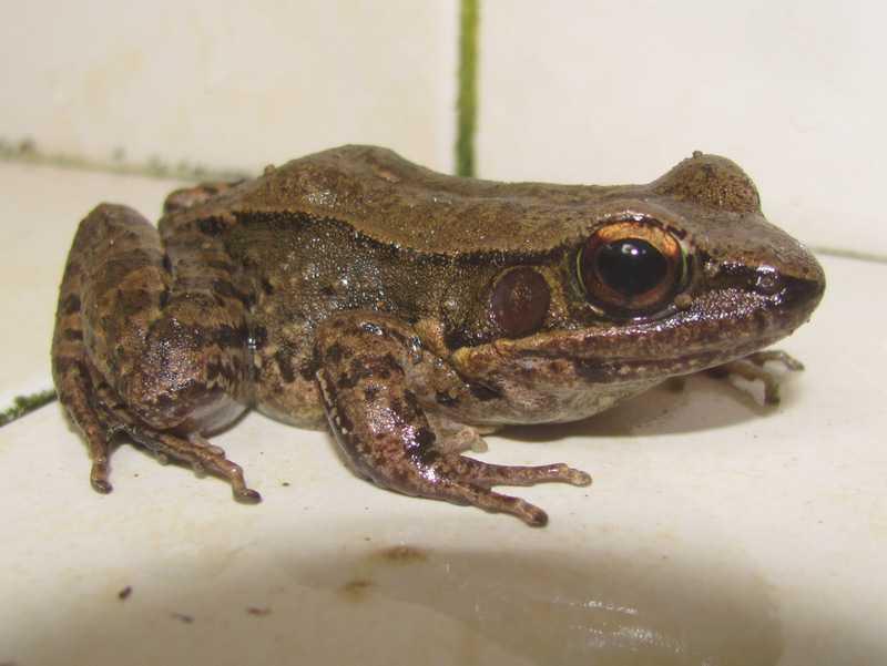 Sapgreen Stream Frog Hylarana nigrovittata dark-sided frog