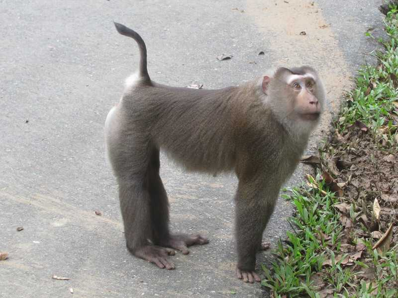 Northern pig tailed macaque (Macaca leonina) khao yai thailand