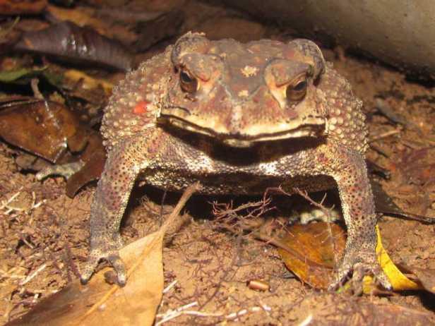 Common Indian Toad Duttaphrynus melanostictus Common Indian Toad khao yai thailand