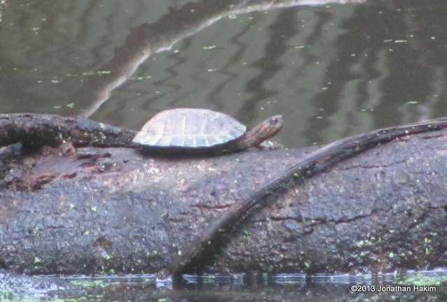 Asian Leaf Turtle (Cyclemys dentata)